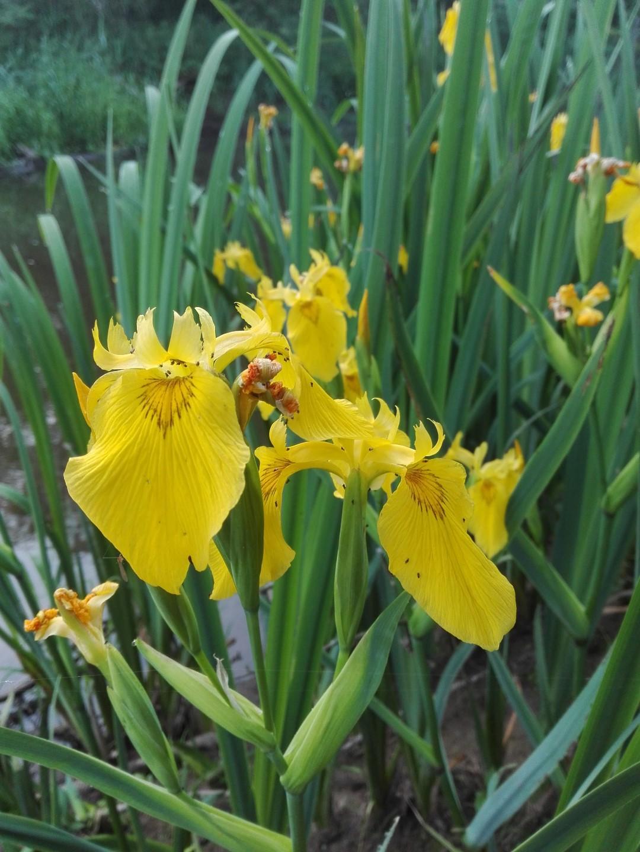 Laukiniai irisai