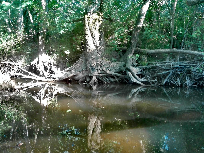 Paplautos medžių šaknys